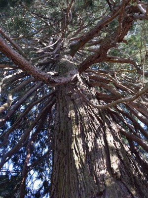 schwemmholz treibholz deko mammutbaum 1