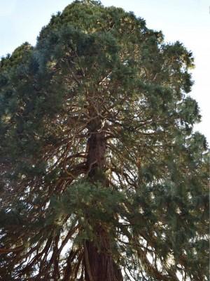 schwemmholz treibholz deko mammutbaum 2